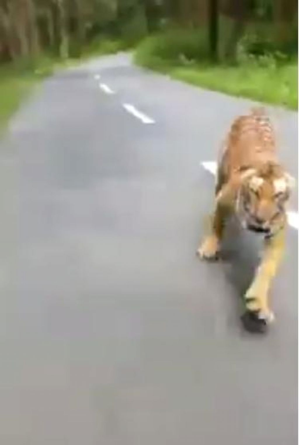 VIDEO: Tiger lovil motorista