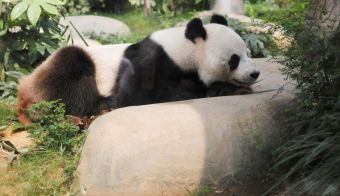 A giant panda Ying Ying rests at her enclosure at the Ocean Park at Aberdeen's harbour southwest of Hong Kong, China, September 11, 2019. REUTERS/Amr Abdallah Dalsh FOTO: Amr Abdallah Dalsh Reuters